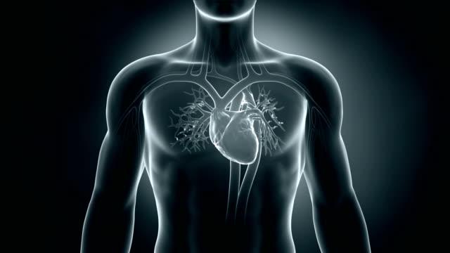 vídeos de stock e filmes b-roll de ritmo cardíaco em ciclo - coração humano