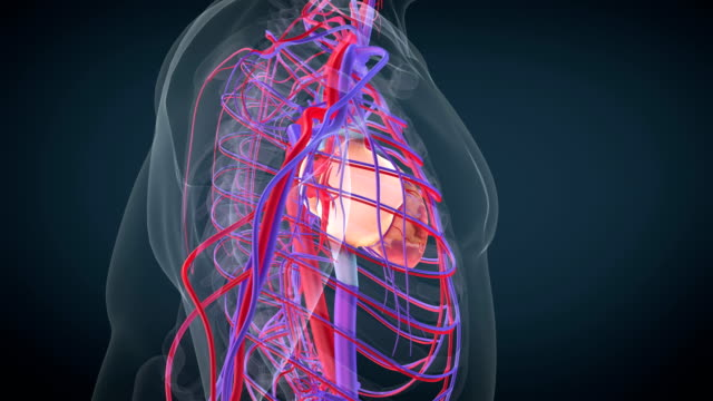 Heart circulatory system Heart circulatory system Animation blood vessel stock videos & royalty-free footage