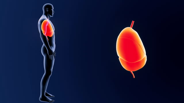 Heart, Lungs and diaphragm with Body video