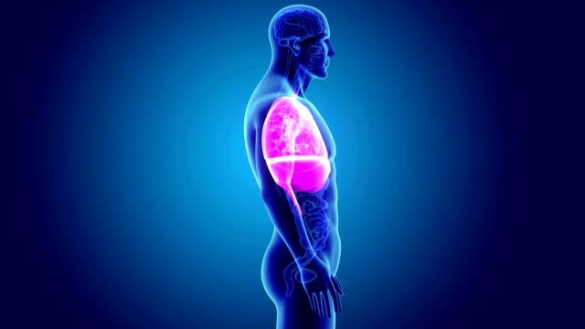 vídeos de stock e filmes b-roll de heart, lungs and diaphragm with organs - ventrículo do coração