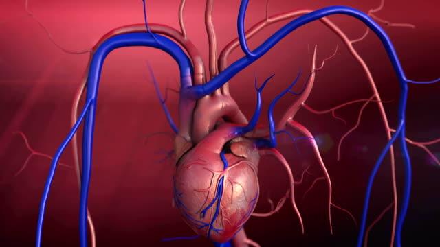 vídeos de stock e filmes b-roll de modelo do coração - ventrículo do coração