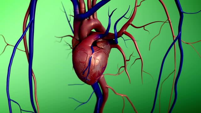 vídeos de stock e filmes b-roll de coração - ventrículo do coração