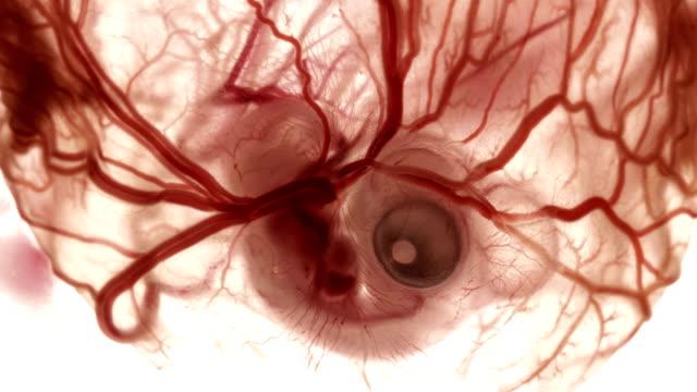 vídeos de stock e filmes b-roll de heartbeat and blood flow through the vessels in a chicken embryo in an egg - capilar vaso sanguíneo