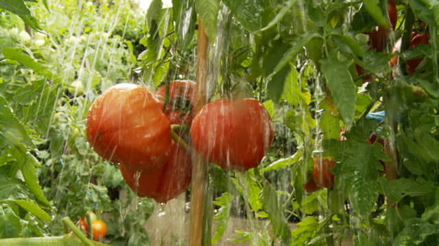 HD SLOW MOTION: Heavy Rain Falling On Tomatoes video