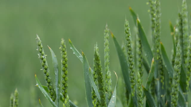 Heavy rain over the field. Panoramic view of young green wheat germ video