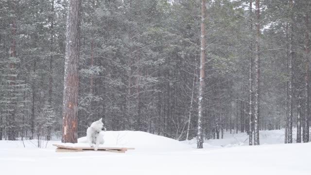 森の中で大雪が降った。冬には松の木の枝に大雪がたくさん降る。雪の中に横たわっている犬、冬シベリア - シベリア点の映像素材/bロール