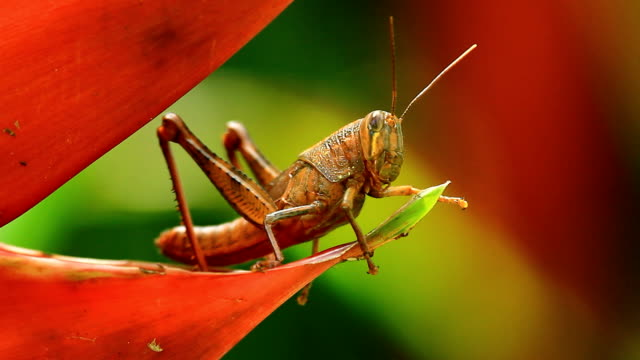 Hedge Grasshopper or Giant Locust video