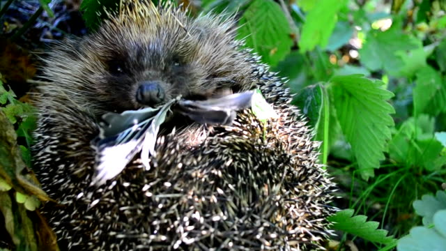 hedgehog curled in the grass eats a bird - rotolo video stock e b–roll
