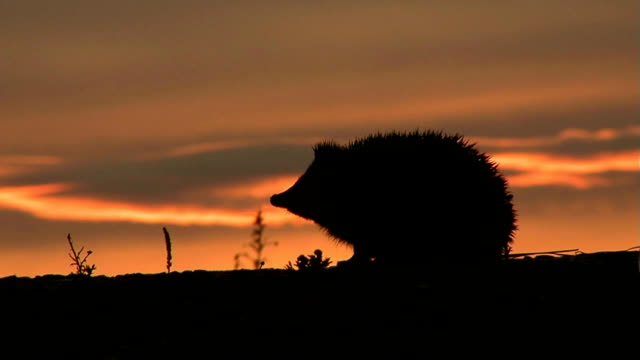 Hedgehog Evening video