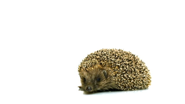 HD - Hedgehog looks at the screen video