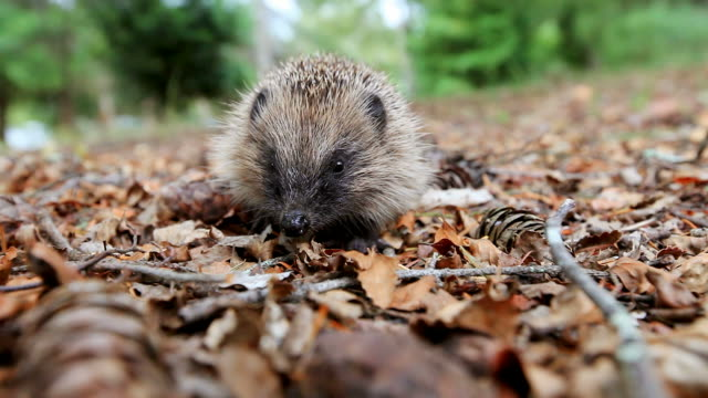 Hedgehog on a forest litter video