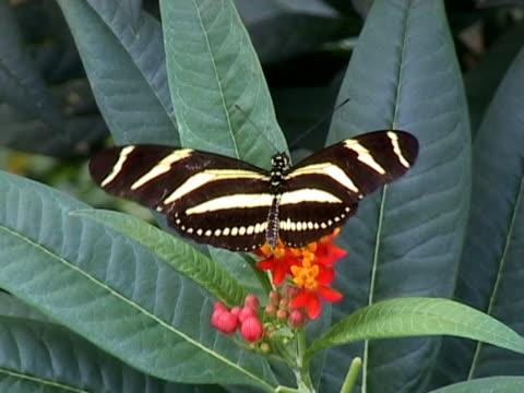 PAL: Heliconius Charitonia