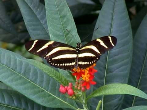 NTSC: Heliconius Charitonia