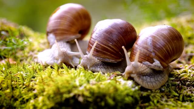 Helix pomatia also Roman snail, Burgundy snail video