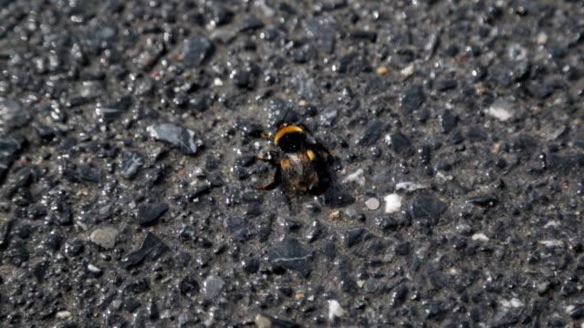 hjälplösa humla på asfalt närbild, insekt lider av dålig ekologi i storstad - utdöd bildbanksvideor och videomaterial från bakom kulisserna