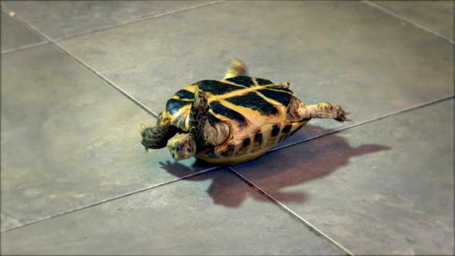 Helpless Russian Tortoise Turned Upside Down, Shakes Its Legs in Attempt to Get on Its Feet video