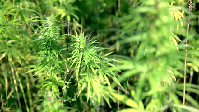 HD: Hemp from close HD1920x1080: High quality produced HD Stock Footage Clip of Industrial cannabis field and single hemp plants shots  from different angles while shaking in the wind on a sunny day near the roadside. hashish stock videos & royalty-free footage