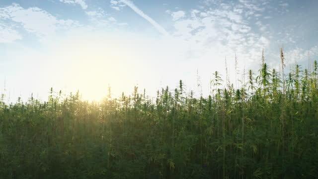필드에 대마 식물 - 칸나비디올 스톡 비디오 및 b-롤 화면