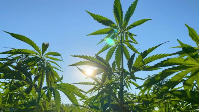 vídeos de stock, filmes e b-roll de amadurecimento do cânhamo ao sol - erva