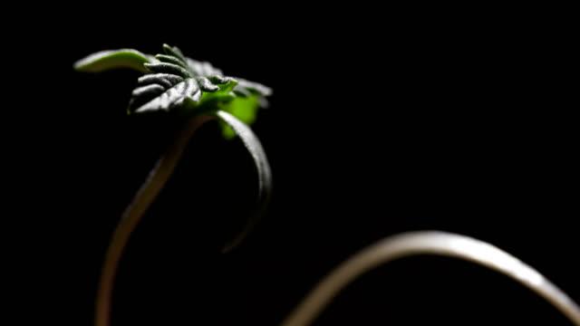 vídeos y material grabado en eventos de stock de el cáñamo - hierba planta