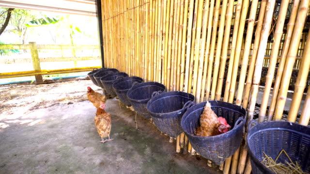 vídeos de stock, filmes e b-roll de galinha na fazenda, frango - ave doméstica