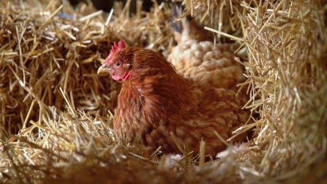 vídeos de stock, filmes e b-roll de galinha do uc que coloca em ovos no feno - ave doméstica