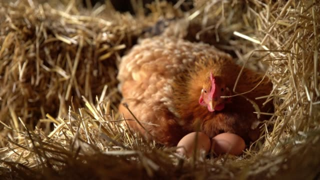 MS Hen sitting on eggs in hay