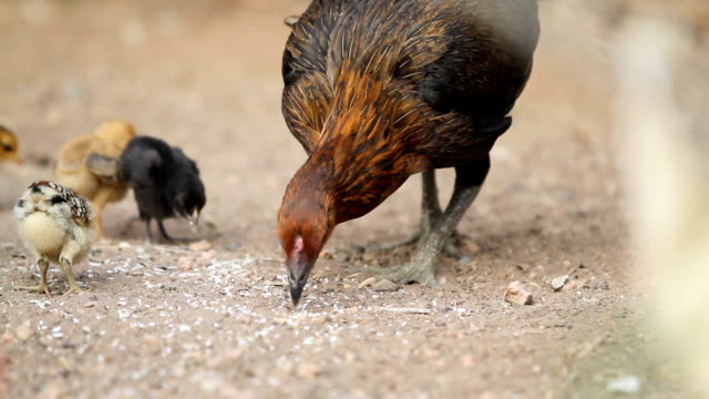 Hens are brought chick ferret food. video