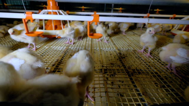 Hens at chicken Farm. Poultry production. 4K.