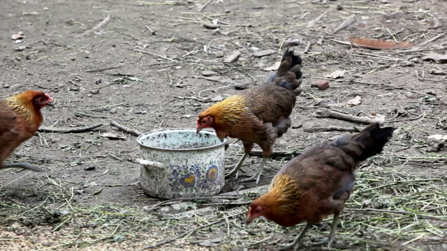Hens in organic farm