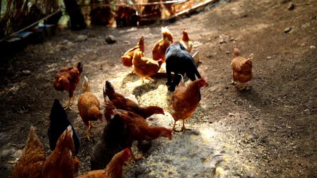 Hühner im Hühnerstall – Video