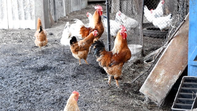 Hens in the yard of a hen house video