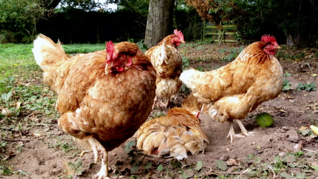 Hens In The Yard video