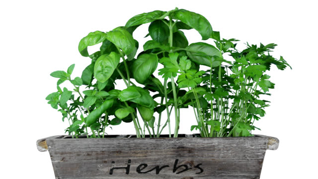 Herb Garden Basil, oregano, and cilantro growing in a planter. basil stock videos & royalty-free footage