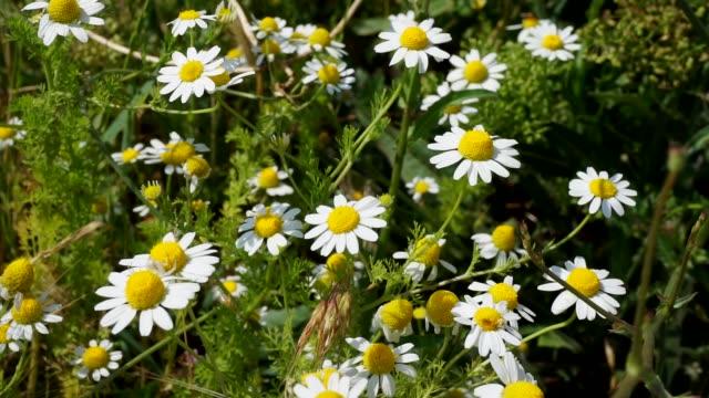 vídeos y material grabado en eventos de stock de manzanilla de hierbas, cultivada naturalmente en el campo de la manzanilla, - manzanilla