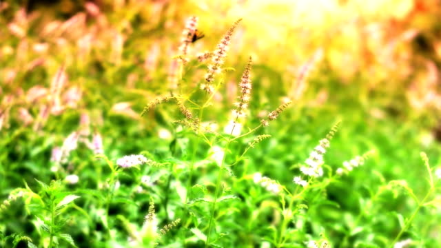 herbal mint natural video