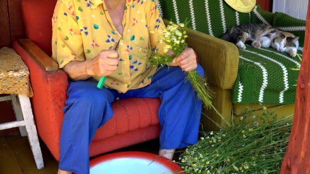 herbalist grandmother pick camomile flower blooms and tabby cat sleep video