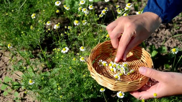 stockvideo's en b-roll-footage met herbalist hand camomile - camelia white