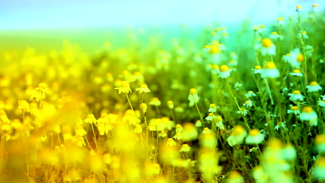 Herbs Chamomile Waved by Ocean Wind Colorful Nature Background HD video