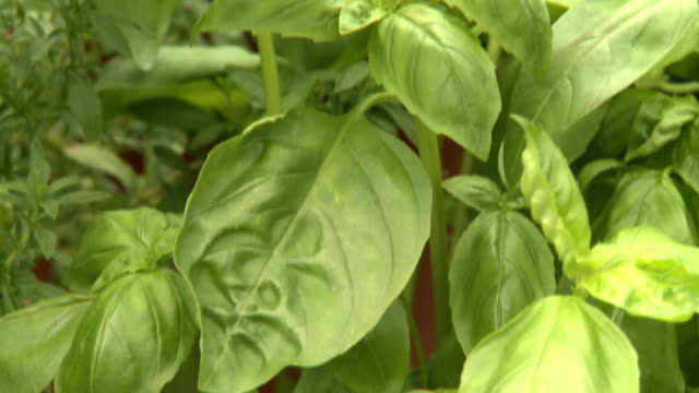 herbs a shot of lovely herbs basil stock videos & royalty-free footage
