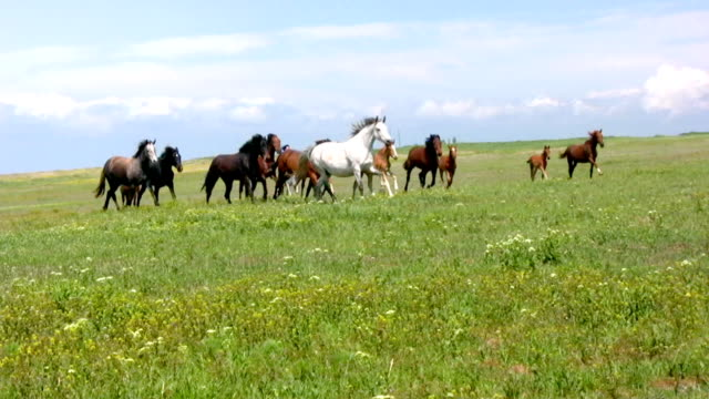 Herd and steppe video