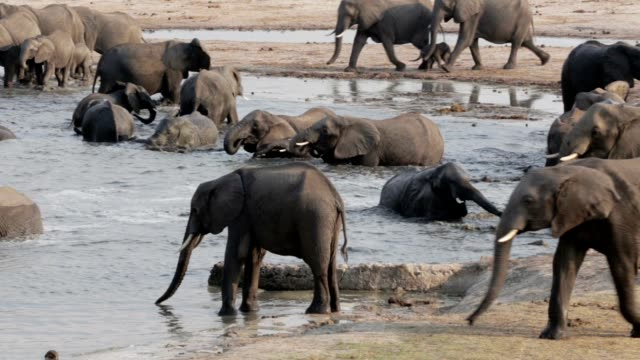 Herd of African elephants at waterhole video