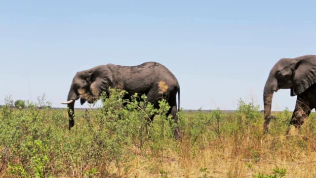 herd of African elephants in african bush video