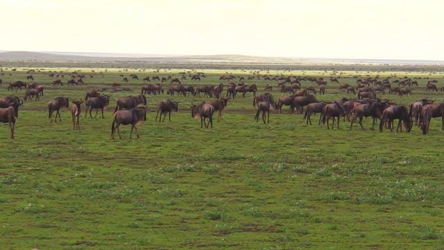 herde von afrikanischen gnus migration - panorama stock-videos und b-roll-filmmaterial