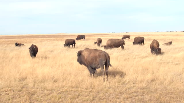 CLOSE UP: Herd of big buffalos pasturing on a dry grassland prairie on sunny day CLOSE UP: Herd of big buffalos pasturing on a dry grassland prairie on sunny day in hot summer. Bison bulls grazing on dry arid grass at Badlands National Park during drought prairie stock videos & royalty-free footage