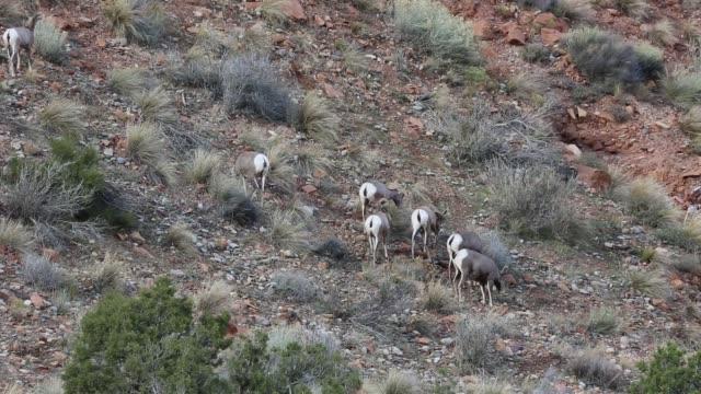 Herd of bighorn sheep video