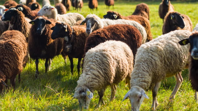 herd of black and white sheep grazing on a pasture - farm animals stock videos and b-roll footage