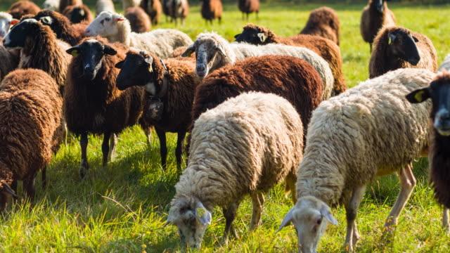 放牧、白と黒の羊の群れ - 家畜点の映像素材/bロール