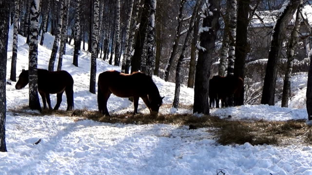 Herd of brown horses in a snowy forest video