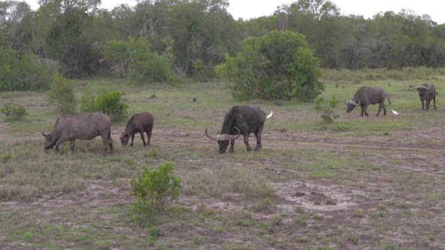 A Herd Of Buffalo Grazing In A Field Near The Bushes Of The African Reserve video